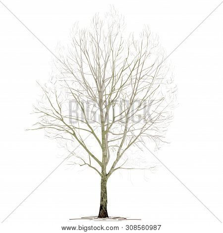 Poplar (populus L.) Without Foliage, In The Winter, The Color Vector Image On A White Background