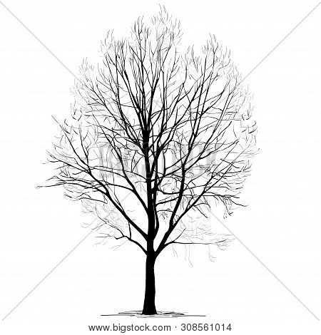 Poplar (populus L.) Silhouette Without Foliage, In The Winter, The Black-and-white Vector Image On A