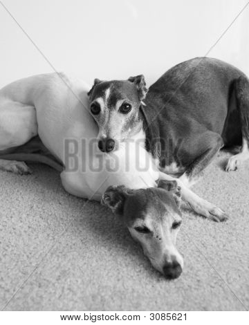 Napping Greyhounds