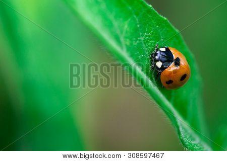 Ladybug Walks Up On A Leaf, Coccinellidae, Arthropoda, Coleoptera, Cucujiformia, Polyphaga