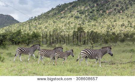 Four Plains Zebra In Green Savannah In Kruger National Park, South Africa ; Specie Equus Quagga Burc