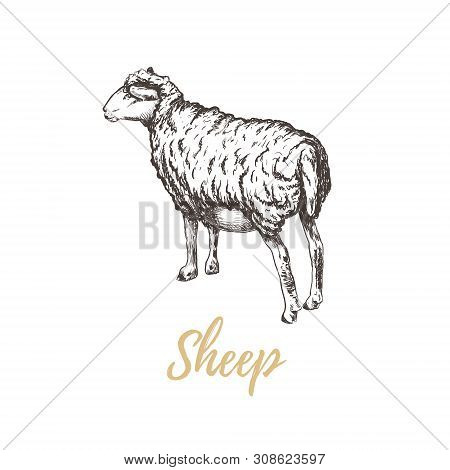 Sheep Vector Illustration. Sheep Hand Drawing. Sheep Sketch