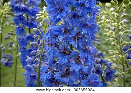 Lush And Colorful Blooming Blue Delphinium Elatum Flowers. Nature Background