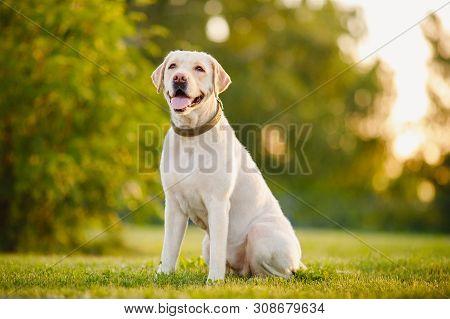 Happy Purebred Labrador Retriever Dog Outdoors Sitting On Grass Park Sunny Summer Day