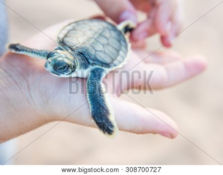 Human Hand Holding Flatback Sea Turtle Hatchling On Bare Sand Island In The Northern Territory Of Au