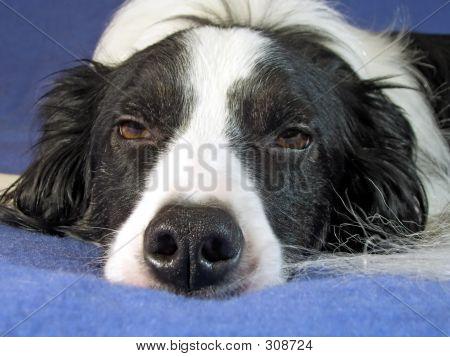 Collie Dog Sleepy