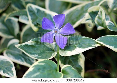 Bigleaf Periwinkle Or Vinca Major Or Large Periwinkle Or Greater Periwinkle Or Blue Periwinkle Everg