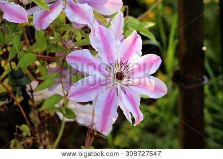 Clematis Nelly Moser Or Leather Flower Nelly Moser Easy Care Perennial Vine Flower With Leathery Whi