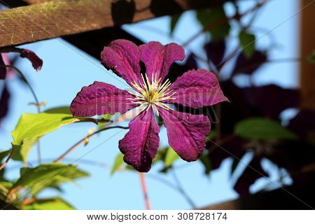 Clematis Or Leather Flower Dark Purple Easy Care Perennial Vine Flower With Leathery Petals And Brig