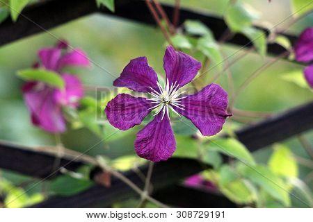Dark Purple Clematis Or Leather Flower Dark Purple Easy Care Perennial Vine Flower With Leathery Pet