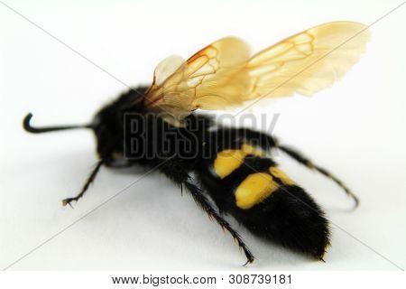 Lovely Specimen Of Mammoth Wasp On White Background