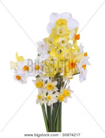 Bouquet Of Brightly Colored Daffodils Against A White Background