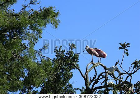 Roseate Spoonbill Resting On Treetop At Alligator Farm St. Augustine Florida