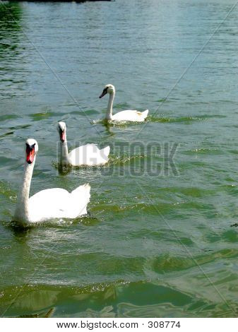 3 Swans Swimming