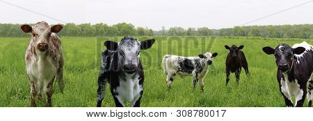 Adorable Newborn Mottled And Speckled Roan Calves In The Meadow Looking At The Camera