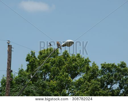 Red Shouldered Hawk Watches Over His Territory. The Mockingbird Is Trying To Drive Him Away But The