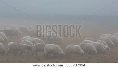 Flock Of Sheep In Remote Rural Area In Autumn, With Thick Fog