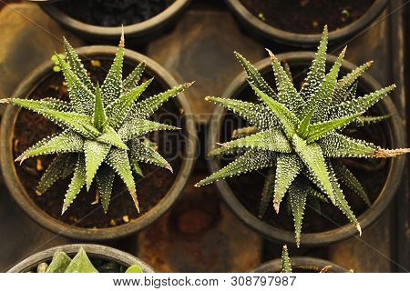 Aloe Humilis, short-stemmed aloe succulent plant in a top view poster