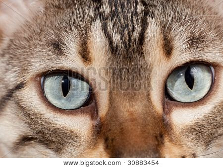 Bengal Kitten Eyes In Macro Close Up