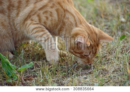 Ginger Cat On The Grass Playing With A Lizard