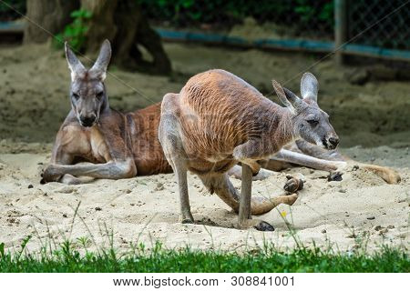 Red Kangaroo, Macropus Rufus In A German Zoo