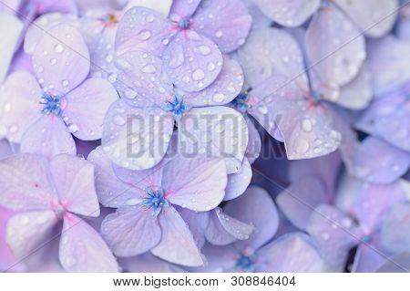 Macro details of blue Hydrangea flowers soaked in rainwater poster