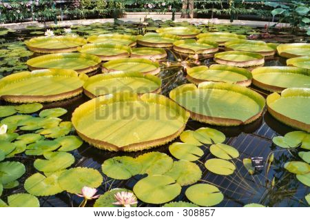 Water Lillies Kew Gardens