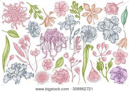 Vector Set Of Hand Drawn Pastel Japanese Chrysanthemum, Blackberry Lily, Eucalyptus Flower, Anemone,