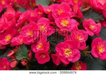 Pink Flowers Of Begonia Grandis, Lovesickness, Bitter Love.