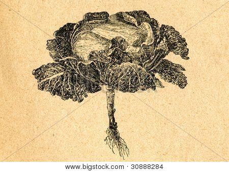 Kål - gammal illustration av okänd konstnär från Botanika Szkolna na Klasy Nizsze, författare Jozef Ros