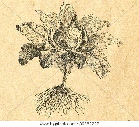 Blomkål - gammal illustration av okänd konstnär från Botanika Szkolna na Klasy Nizsze, författare Jozef