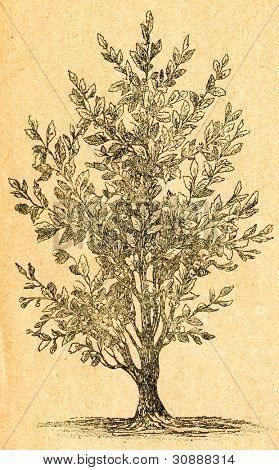Te planta blommar - gammal illustration av okänd konstnär från Botanika Szkolna na Klasy Nizsze, myndig
