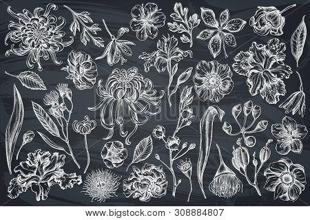 Vector Set Of Hand Drawn Chalk Japanese Chrysanthemum, Blackberry Lily, Eucalyptus Flower, Anemone,