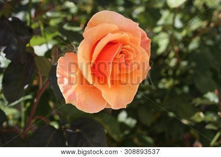 This Is An Image Of A Rose Taken Close Up In A Carmel, California Rose Garden In Full Early Morning