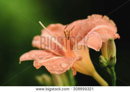 Open Buds Of Orange Lily Closeup Full Screen