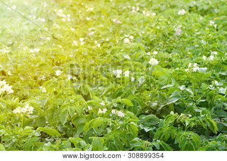 Flowering Potato Field To Fill The Frame Fairly Close-up