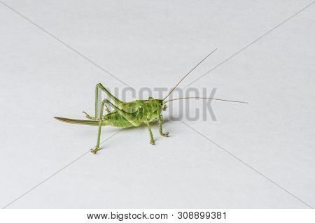 Green Grasshopper Tettigonia Cantans Isolated On White Background Close-up, Live Insect