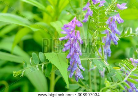 Blooming Vicia Cracca, Also Tufted Vetch, Cow Vetch Or Boreal Vetch In Macro View. Spring Meadow Pur