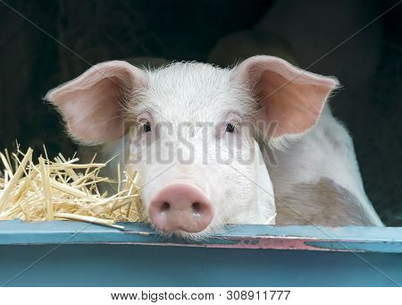 Front View Close-up Portrait Of Cute Curious White Pink Meat Breed Pig On Sale At The Local Village