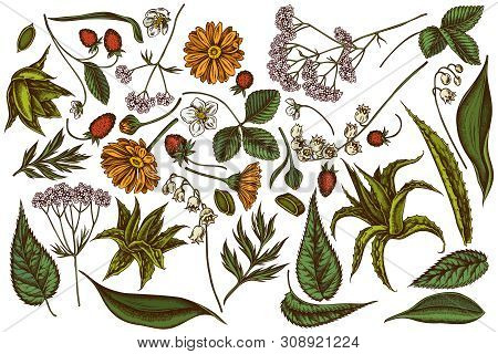 Vector Set Of Hand Drawn Colored Aloe, Calendula, Lily Of The Valley, Nettle, Strawberry, Valerian S