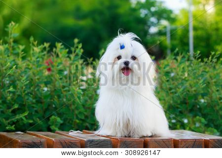 Cute Dog Breed Maltese Is Sitting On A Pedestal In The Park