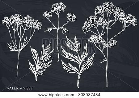 Vector Set Of Hand Drawn Chalk Valerian Stock Illustration