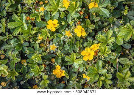Close Up Of Budding, Bloomin And Overblown Creeping Cinquefoil Or Potentilla Reptans Plants As Seen