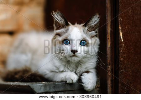 Homeless Grimy Little White Kitten Portrait. A Beautiful Cat With Blue Eyes. Animals Are Homeless. S