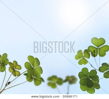 Young Oxalis Leaves Backlit By Sunlight In A Garden