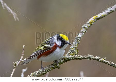 A male Chestnut-sided Warbler sitting in the crook of a branch on a spring morning in southwestern Ontario, Canada. poster