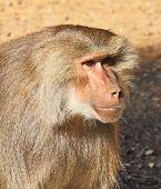 Orangutan apes. Zoo Safari in Israel poster