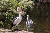 Two large waterfowl Australian pelicans with a pink beak swim in a shallow pond. Pelicans are looking for fresh fish. Australian park. Ecotourism concept poster