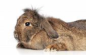 Lop-eared fluffy rabbit on a white background poster