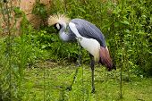 Grey Crowned Crane (Balearica regulorum) walking in grass poster